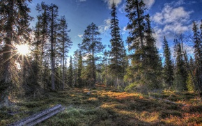 Picture forest, the sun, trees, nature, HDR, ate