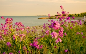 Picture sea, flowers, nature, shore