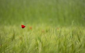 Wallpaper field, red, one, Mac, Flower, blur
