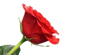 Picture Wallpaper, rose, petals, stem, Bud