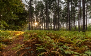 Picture forest, trees, fern, the rays of the sun