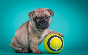 Picture French bulldog, puppy, the ball