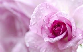 Picture drops, macro, rose, petals, Bud, bokeh