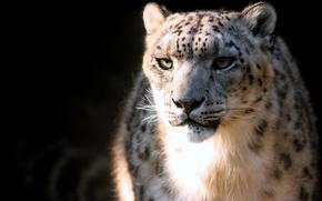Picture predator, spot, Snow Leopard, IRBIS, snow leopard