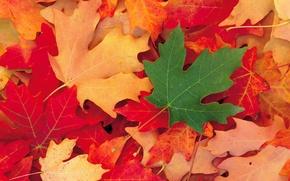 Wallpaper Autumn, Leaves, Maple