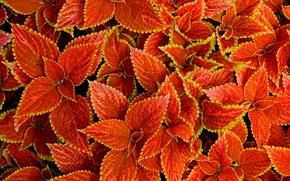 Wallpaper macro, carpet, nature, plant, Coleus In Bloom, leaves
