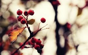 Wallpaper macro, background, nature, picture, treatment, Wallpaper, berries, color, photo, plants. branch, autumn