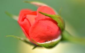 Picture Bud, petals, rose, stem, flower, leaves