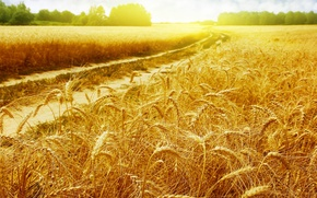 Picture field, summer, nature, ears, sunlight