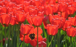 Picture a lot, red tulips, tulips, buds
