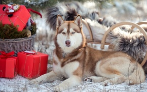 Wallpaper sleigh, gifts, spruce, snow, winter, husky, eyes