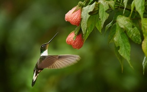 Wallpaper Bush, Hummingbird, flowers, bird