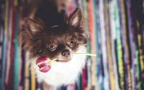 Picture each, Tulip, dog