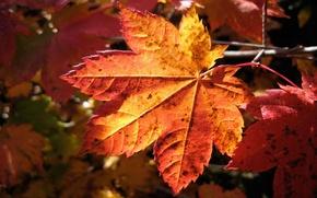 Picture autumn, macro, sheet, macro nature