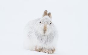 Picture winter, mountain, snow, wildlife, hare