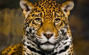 Wallpaper face, predator, Jaguar, bokeh, closeup