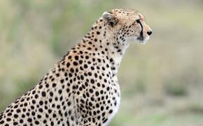 Picture predator, Cheetah, profile, wild cat