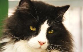 Wallpaper cat, cat, black and white