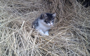 Picture cat, macro, kitty, animal, hay