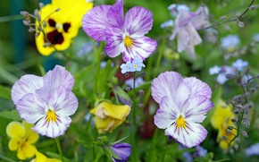 Picture meadow, Pansy, forget-me-nots, viola