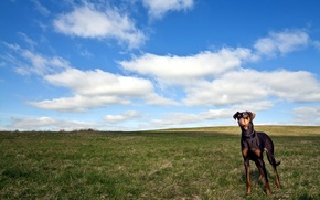 Picture field, the sky, dog