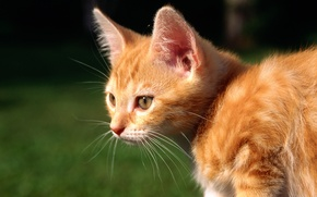 Picture cat, cat, kitty, red, cat
