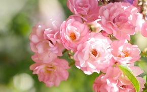 Picture macro, pink, roses