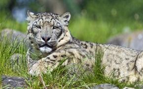 Picture cat, grass, stay, IRBIS, snow leopard, ©Tambako The Jaguar