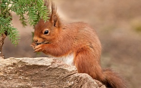 Picture red, pussy, little, squirrel