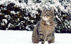 Picture winter, cat, look, snow, looks