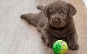 Picture look, each, the ball, floor, puppy, Labrador