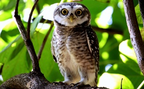Picture look, leaves, owl, branch
