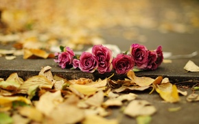 Picture autumn, leaves, flowers, background, earth, widescreen, Wallpaper, rose, roses, yellow, wallpaper, flowers, flower, widescreen, background, …