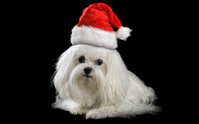 Picture animals, red, holiday, new year, Christmas, dog, puppy, Santa, white, black background, lapdog, cap