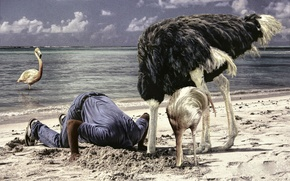 Picture sand, sea, birds, man, the situation, ostrich, Flamingo
