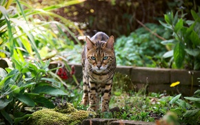 Picture summer, look, Bengal cat