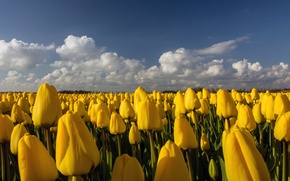 Picture field, flowers, yellow, tulips, plantation