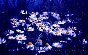Picture blue, color, chamomile