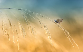 Picture background, butterfly, spikelets, a blade of grass