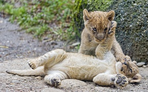 Picture cats, the game, pair, cub, kitty, the cubs, lion, ©Tambako The Jaguar