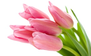 Picture white, flowers, background, tulips, pink