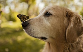 Picture butterfly, wings, dog, nose