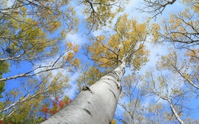 Picture aspen, trees, autumn, the sky, trunk