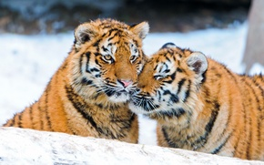 Picture winter, snow, tiger, pair, weasel, the cubs