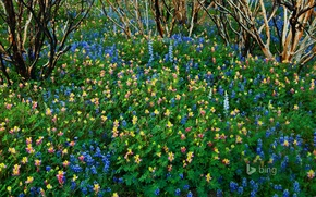 Picture flowers, CA, USA, Lupin, Yosemite National Park, burned forest