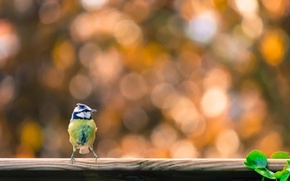 Picture nature, bird, titmouse