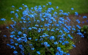 Picture nature, background, forget-me-nots
