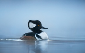 Picture lake, duck, wildlife, hooded merganser