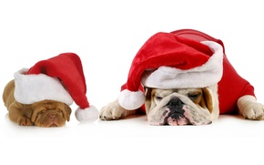 Picture animals, dogs, red, holiday, new year, cute, puppies, pair, white background, Santa, bulldog, two, sleep, …