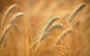 Picture field, summer, macro, ears